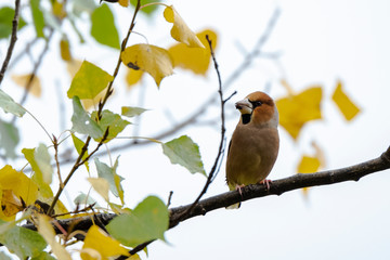 A male of hawfinch catching sunlight