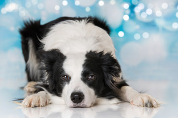 Border collie dog lying on blue background