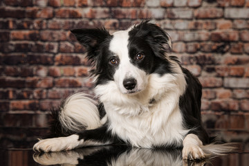 Cute border collie dog lying in a front of a stone wall