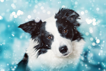 Cute border collie on blue christmas background