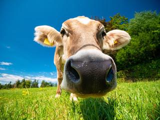 Cow in German Alps