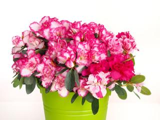 Papiers peints Azalea Pink and white azalea flower in green pot on white background