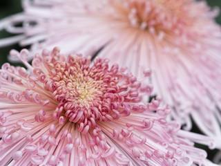 菊の花 管物菊