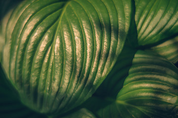 Blurred background image of hosta leaves in the sunlight. Hello summer concept