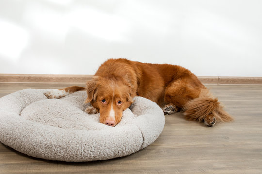 dog in a pet bed. Nova Scotia Duck Tolling Retriever at home on a soft mattress