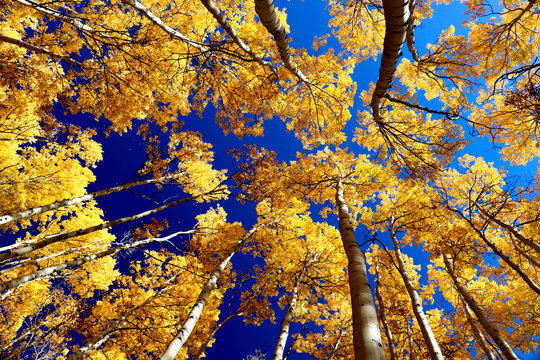 A grove of golden aspens in the fall in Summit County, Colorado