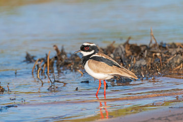 Pied Plover on a Wetland Shore