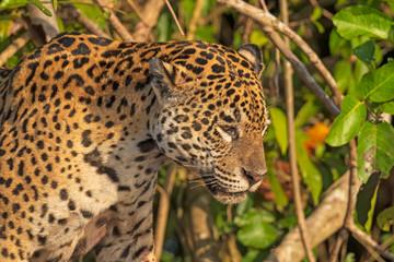 Jaguar Staring at his Prey