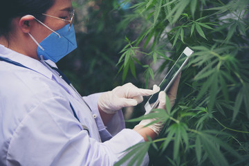 Scientists wear hand gloves to examine cannabis trees Alternative medicine concepts, cbd, pharmaceutical industry