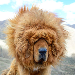 A portait of a brown Tibetan Mastiff suggests the windy climate can be a blinding challenge for these loyal guard dogs of in the Tibet Autonomous Region of China.