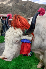 For Tibetan villagers, yaks decorated in tassels and pompoms become a money making photo op with tourists.