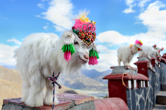 Miniature goats stand for photographs along a stairway in the Bharma Valley.