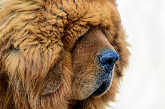 The thick furry coat of a Tibetan Mastiff lays heavily over the eyes of the guard dog.