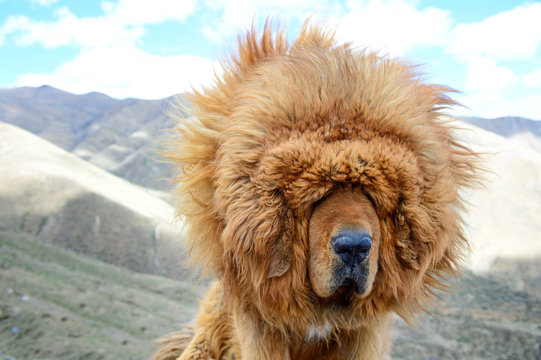 The lion-like mane of a Tibetan Mastiff blows wildly in the windy climate of Tibet Autonomous Region in China.