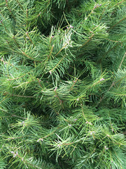 Full frame close-up view of the foliage of a fresh undecorated Douglas Fir christmas tree