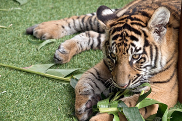 the tiger cub is playing with a leaf
