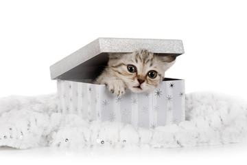 Cute little grey kitten climbs out of gift box