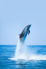 Photo sur cadre textile Dauphin Group of dolphins jumping on the water - Beautiful seascape and blue sky