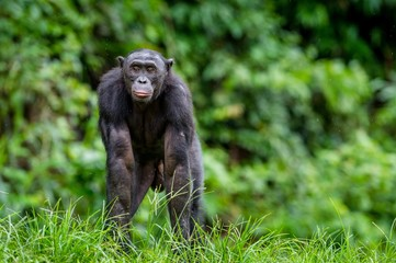 Poster de jardin Singe Adult male of Bonobo on the Green natural background in natural habitat. The Bonobo ( Pan paniscus), called the pygmy