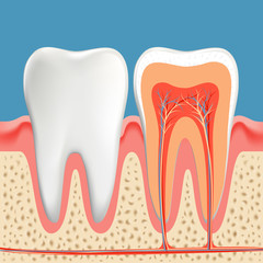 Human teeth diagram. Cross section cavity of the tooth