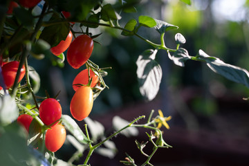 Fresh red tomatoes on branch in the garden.