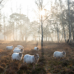 flock of sheep on early morning autumnal heath near utrecht in the netherlands