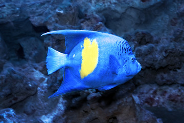 Yellowbar or arabian angelfish (Pomacanthus maculosus)
