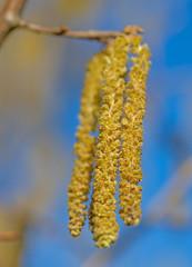 Männliche Blüten der Gemeinen Hasel, Corylus avellana
