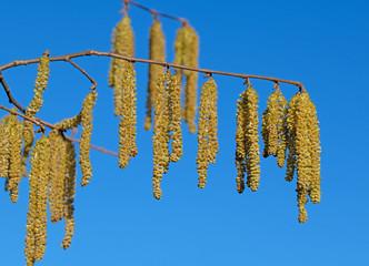 Männliche Blüten der Haselnuss, Corylus avellana