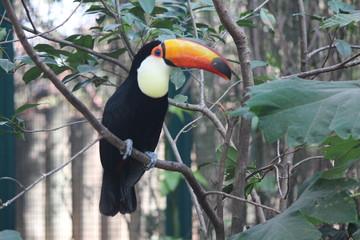 Foto op Plexiglas Toekan South American toucan
