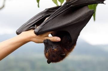 Cute flying fox hanging on the tree