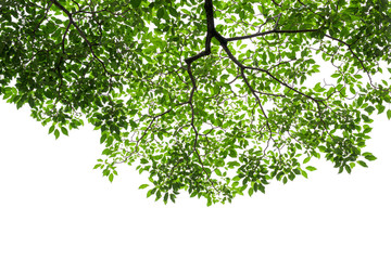 Wall Mural - Green tree leaves and branches on white background