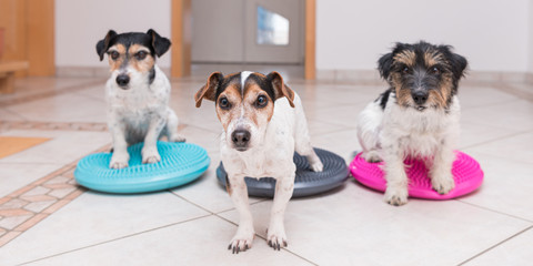 A group of small dogs on balance pad - Three Cute Jack Russell Terrier dogs.