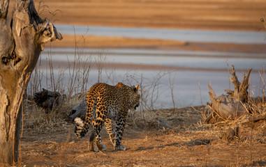 Rear view of leopard walking near river