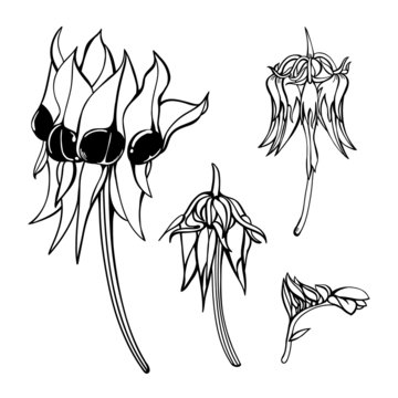 Hand-drawn Sturt Desert Pea Vector Wildflower Set