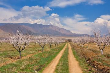 Apricot farm during sping season against Vayk mountain range, Vayots Dzor Province, Armenia