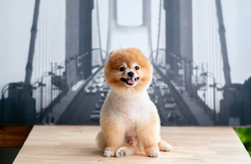 Cute young fluffy hair Pomeranian dogs sit on table with very happy face