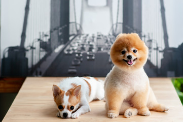 Cute young fluffy hair Pomeranian and Chihuahua dogs sit on table with happy face