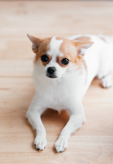 Cute young soft hair Chihuahua dog looking to camera