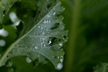 Befall von Kohlmottenschildläusen auf der Unterseite von Grünkohlblätter