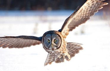 Poster de jardin Chouette Great grey owl with wings spread out in flight and hunting over a snow covered field in Canada
