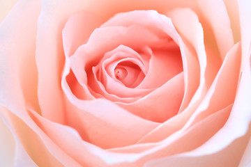 Poster de jardin Roses close up pink rose flower soft focus and copy space.