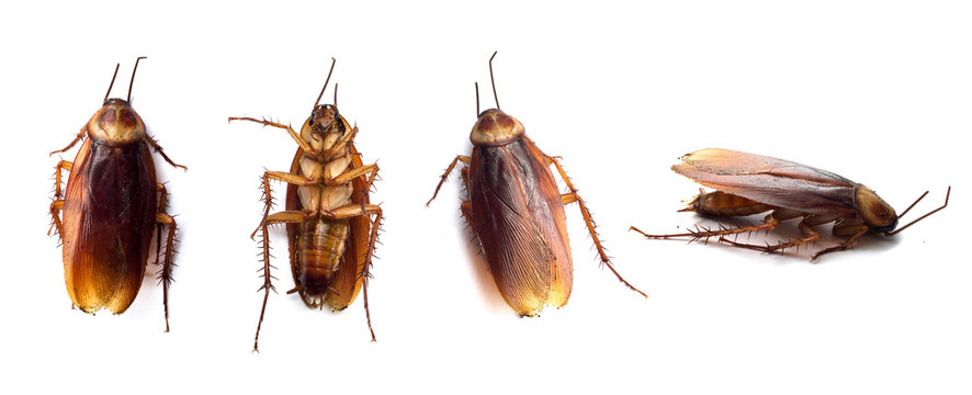 Set of dark brown cockroaches isolated on the white background. Closeup cockroach dies overturned. Top view.