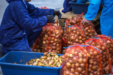 The hands of the employee who packed the sorted onions into a mesh bag on the sorting line. Production facilities of grading, packing and storage of crops of large agricultural firms.