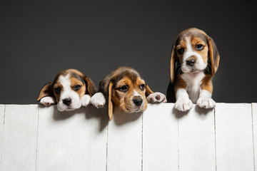 Beagle tricolor puppies are posing. Cute white-braun-black doggies or pets playing on grey background. Look attented and playful. Studio photoshot. Concept of motion, movement, action. Negative space.