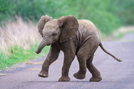 Cute baby elephant running along the road with a blurred background