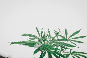 Marijuana leaves, hemp, Indica, natural bokeh background