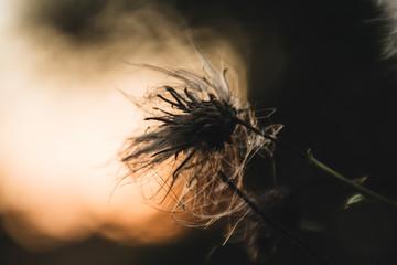 Macro Up Close of a Weed at Sunset