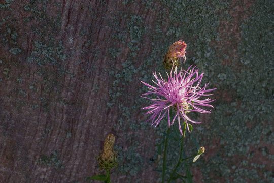 Spotted Knapweed growing wild in Monatana