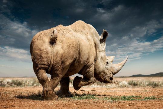 A white rhinoceros, Madikwe Game Reserve